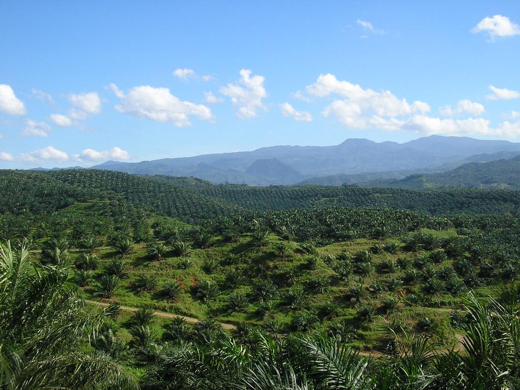 การปลูกปาล์มน้ำมันมักก่อให้เกิดการทำลายป่าไม้ (ภาพจากhttp://upload.wikimedia.org/wikipedia/commons/7/7b/Oil_palm_plantation_in_Cigudeg-03.jpg)