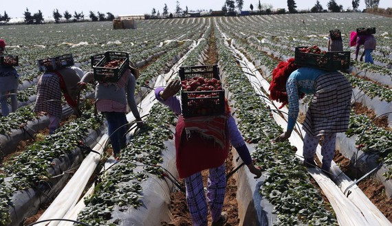 Farmers pick strawberries, to be exported, in a field in the town of Moulay Bousselham in Kenitra province March 15, 2014. The local strawberry growers use the multi-layers planting method to gain two times more strawberries than usual. REUTERS/Youssef Boudlal (MOROCCO - Tags: AGRICULTURE BUSINESS) - RTR3H8L0