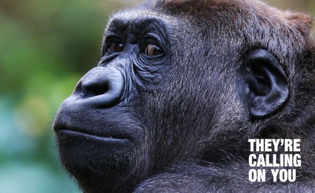 ที่มา http://cdn.zmescience.com/wp-content/uploads/2012/12/gorilla-congo-coltan.jpg
